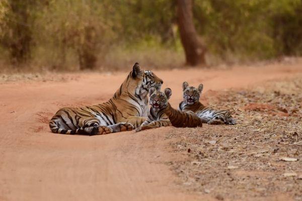 Kaziranga National Park Tigress